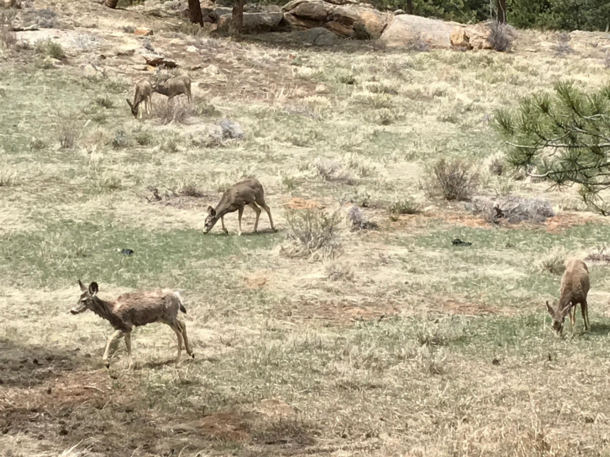 Shaggy mule deer